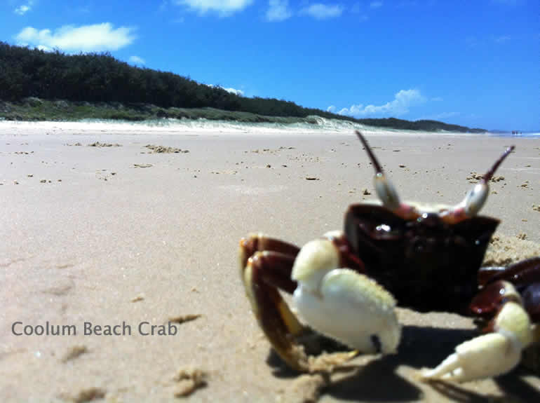 Coolum Beach Crabs